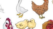 Pollos y patos