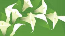 Bouquet de calas