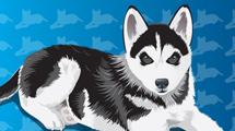 Cachorro de perro Siberiano con fondo azul