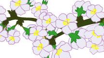Flores Sakura